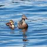 ducklings-453372_960_720