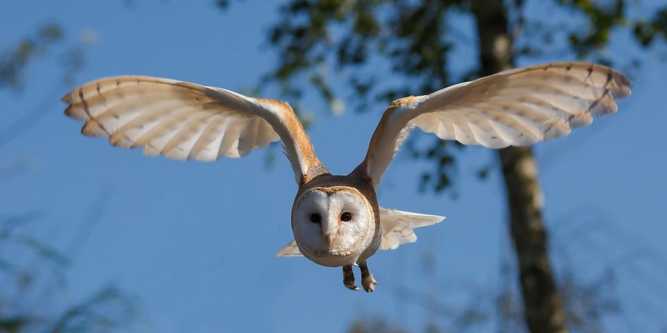 barn-owl-1107397_960_720